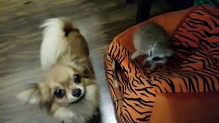 Сурикат Тимка и Маленькая Собачка