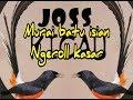 Murai Batu Isian Ngeroll Kasar  Mp3 - Mp4 Download