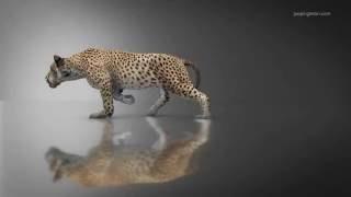 daz big cat 2 walk cycle animation element 3d v2 experiment
