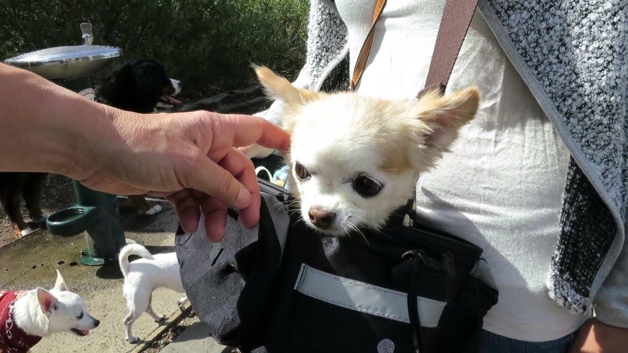 Chihuahua Puppy Mill Rescue Dog In A Handbag In Newport Williamstown Melbourne Australia