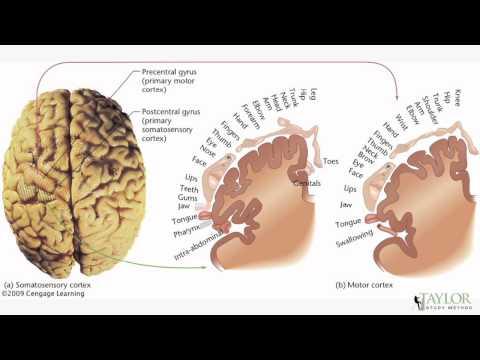 EPPP Study Video - TEMPORAL:PARIETAL LOBE DAMAGE