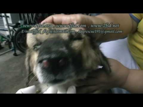 Dog rescue 191 Nasal Cancer บางบอน11