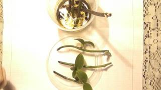 видео Размножение и пересадка орхидей черенками
