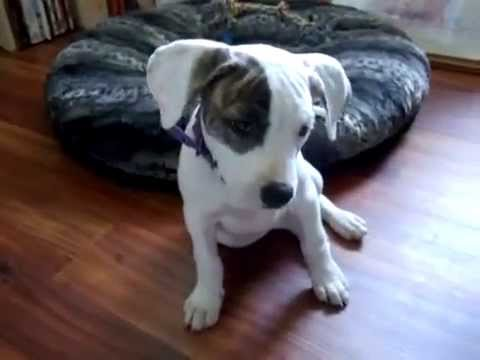 American Bulldog Puppy Training