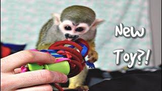 Baby Monkey oLLie & A New Toy!? #MonkeyBooCrew #petmonkey #cutepets