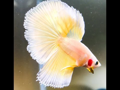 How To Treat A Sick Betta - Near Death Experience Of Betta