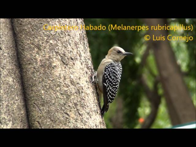 Carpintero Habado - Melanerpes rubricapillus - Red crowned Woodpecker - PICIDAE Videos De Viajes
