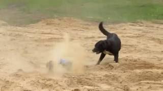🚙 🐕 Ржака. Смешная собака бегает за машинкой