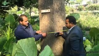 أكبر شجرة باولونيا فى مصر The Biggest Paulownia Tree In Egypt