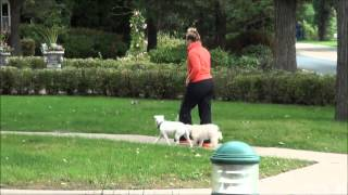 Maybelline (jack Russell Terrier) Boot Camp Dog Training Minneapolis