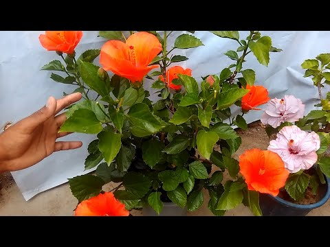 How To Get More Flowers On Hibiscus Plant