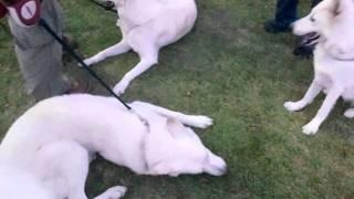 2011.10.23 whiteshepherd ALBA ドッグフェスタ 沼津門池 リアン君と遊ぶ.