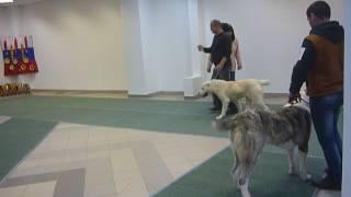 Выставка собак в Волгограде.