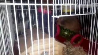 Разведение хомяков дома! Часть 1, ЗНАКОМСТВО. Reproduction of hamsters. Cheria 1