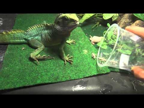 feeding adult water dragons