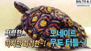 저렴한.. 하지만 화려한 거북이~!  오네이트 우드 터…
