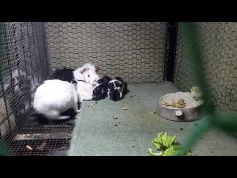 Guinea pigs, Salad's Babies (3) on 24-09-2017