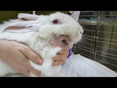 BIG Bunny with a BIG Abscess