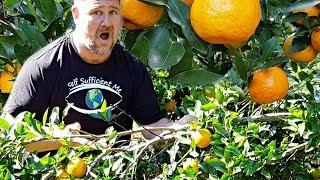 How to Stop Tree Branch BREAKING Under Weight of Fruit AMAZING Garden Hack