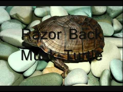 Most Common Aquatic Turtle Breeds - YouTube