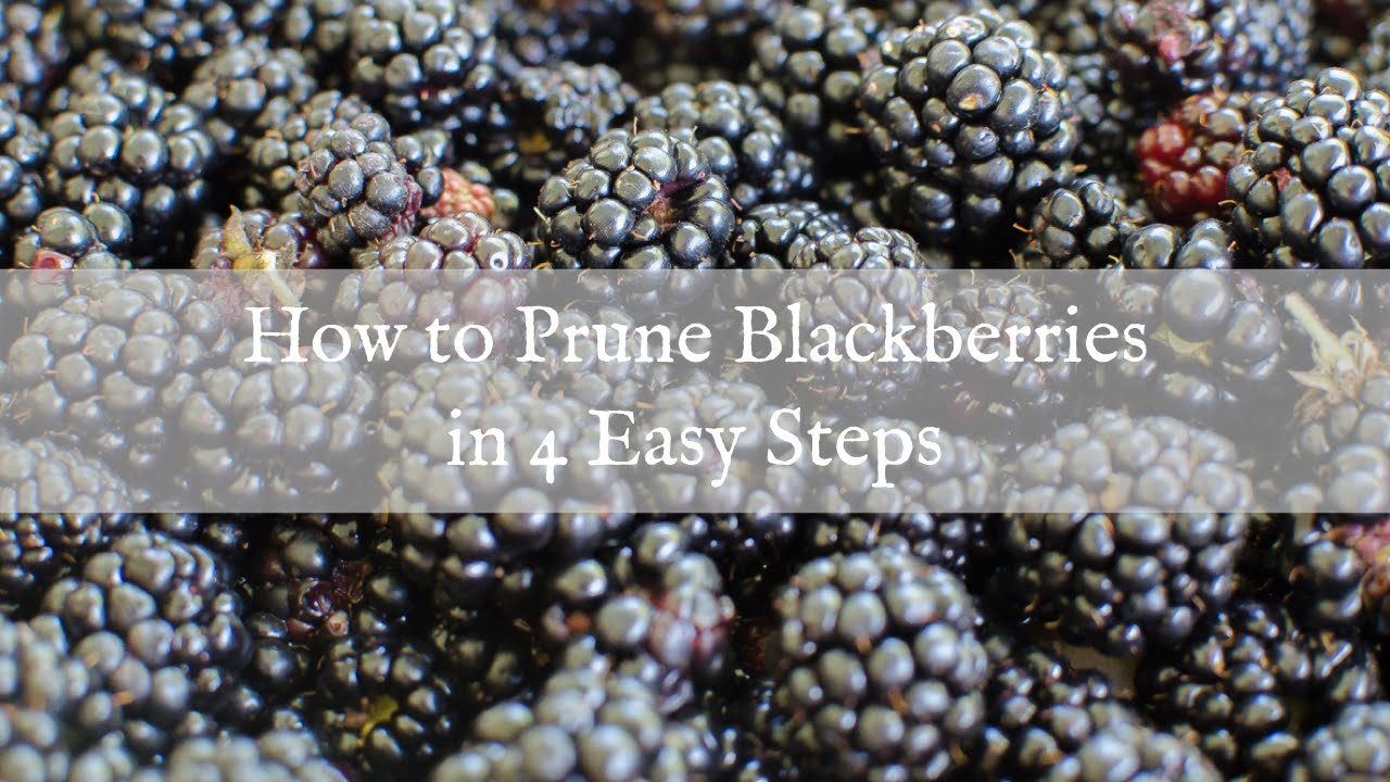 How To Prune Blackberries