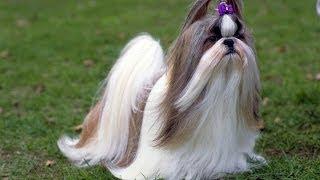 О Ши-тцу - породе собак