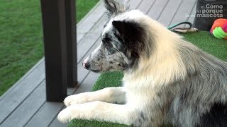 PSY – Border Collie