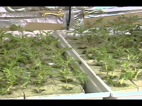 Baja el precio de la marihuana - Noticiero Estrella TV con Myrka Dellanos
