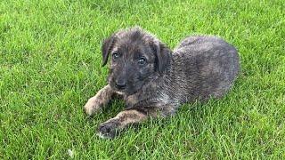 Irish Wolfhound puppy timelapse (birth to 13 weeks)  Orange, Lilac, Blue | Wolvebrigg Puppies
