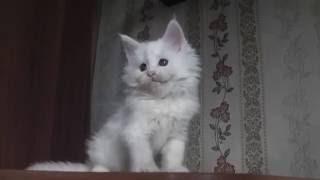 ЛИРИКУМ Ясный Месяц 1,5 месяца, котенок мейн-кун играет