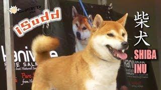 Shiba Inu (柴犬)