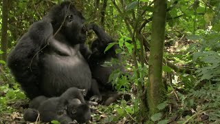 Playful Adult Gorilla | Mountain Gorilla | BBC
