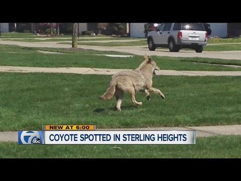 Coyote spotted in Sterling Heights