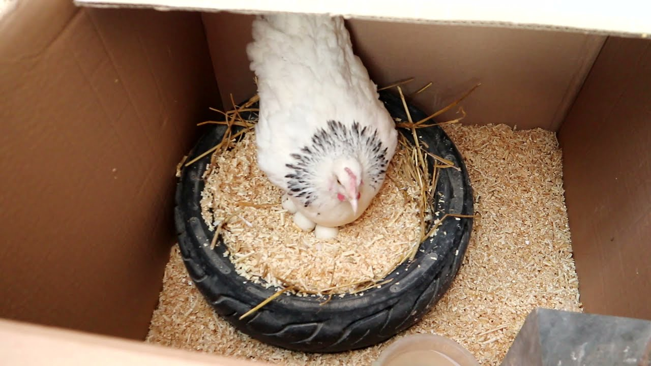 حصاد الدجاجة من بيض الكتاكيت   كتاكيت براهما دجاج غيني
