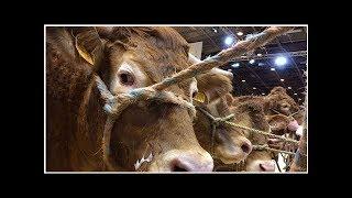 Salon de l'agriculture : les vaches limousines à l'honneur pour la vente aux enchères
