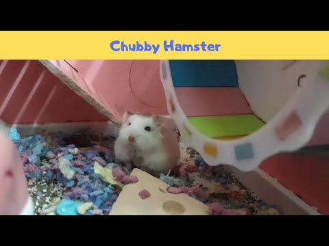 My Chubby Hamster Roborovski Cleaning Her Face - Hamster's Island
