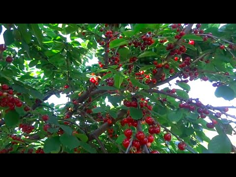 Ранняя черешня и вишня. Урожай 2020