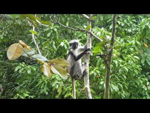Red Colobus Monkey, Jozani Forest, Zanzibar