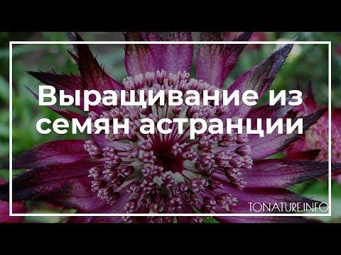 Выращивание из семян астранции | toNature.Info