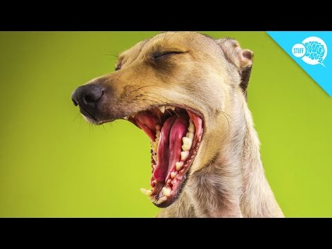 Why Do Dogs Yawn?