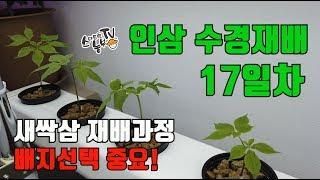 인삼수경재배 17일차 재배배지 교체 (휴가토 난석)
