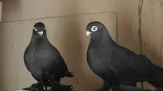 болезнь голубей ПАРАМИКСОВИРУС