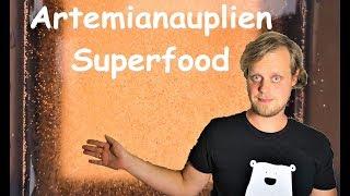 Artemianauplien als Superfood - Ansatz und Fütterung meiner Fische
