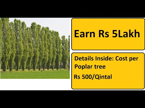 Earn Rs 500000 From Poplar Tree Plantation | Complete Details (Hindi)