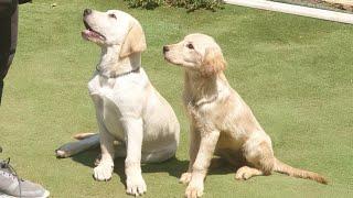 Yavru Labrador Retriever Eğitimi | Yavru Golden Retriever Eğitimi !