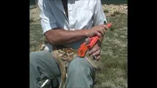 Whitetail Fawn Vaccinations and Ear Tag Application