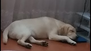 """Как спят лабрадоры😊🤩😴Любимая """"подушка"""" Каспера)))(5,5 месяцев)"""