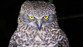 Australia's Largest Owl - Close Up