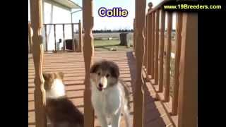 Collie, Puppies,for,sale, In,orlando Florida, Fl, Deltona,melbourne,palm Coast,