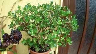 How to propagate a Money plant/Jade plant (Crassula Ovata)
